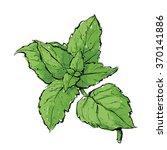 hand draw of mint. vector... | Shutterstock .eps vector #370141886