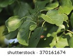 Small photo of Italian Alder - Alnus cordata