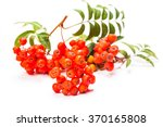 Rowan Berries On A Twig With...