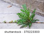 weed  sow thistle   sonchus ... | Shutterstock . vector #370223303