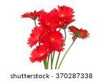 Gerber Flowers Isolated On...
