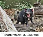 The Tasmanian Devil Baring Its...
