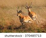 Two Reddish Brown Antelope...
