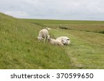 Mother Sheep An Her Three Lamb...
