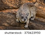 Common Rock Hyrax   Procavia...