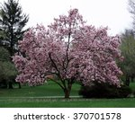 Full Magnolia Tree In Bloom