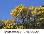 Bloom Detail Yellow Ipe With...