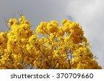 Bloom Detail In Yellow Ipe Tre...