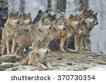 A Pack Of Wolves In Snow
