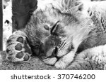 Young Lion Cubs Sleep The Day...