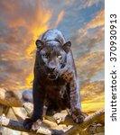 Black Leopard Looking Camera...