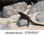 marine iguana in the galapagos... | Shutterstock . vector #37095037