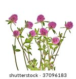 Clover Flowers Isolated On...
