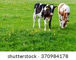 Holstein Calves In A Meadow ...