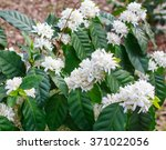 coffee tree blossom with white...   Shutterstock . vector #371022056