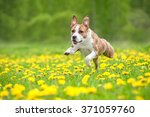 Stock photo american staffordshire terrier dog running on the field with dandelions 371059760