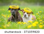 Stock photo two american staffordshire terrier dogs with a wreaths of flowers on their heads 371059820