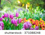 colorful tulip garden in spring | Shutterstock . vector #371088248