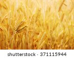 golden wheat field with the sun ... | Shutterstock . vector #371115944