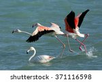 greater flamingos | Shutterstock . vector #371116598
