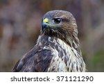 portrait of a common buzzard in ... | Shutterstock . vector #371121290