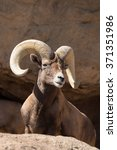 male desert bighorn sheep on... | Shutterstock . vector #371351986