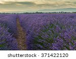 beautiful colors of lavender... | Shutterstock . vector #371422120
