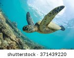 Green Turtle Floating...