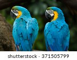 Stock photo two vivid and colorful ara parrot birds sitting together as friends and looking same direction 371505799