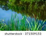 Green Reeds On The River In Th...