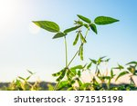 Green Growing Soybeans On A...