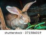 Gray Or Brown Farm Rabbit Eat...
