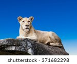 White Lion. Portrait Of Liones...