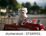 A Bichon Frise Dog Enjoys Her...