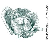 cabbage vegetable hand drawn... | Shutterstock .eps vector #371914654