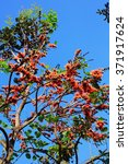 Small photo of African tulip tree with blue sky view