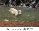 grey wolf in water   Shutterstock . vector #371989