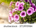 Purple Petunia Flowers In The...