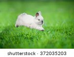 Stock photo little siamese rabbit running on the field in summer 372035203