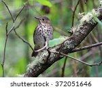 swainson's thrush   catharus... | Shutterstock . vector #372051646