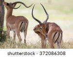 portrait of wild african impala ...   Shutterstock . vector #372086308
