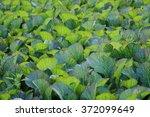 mustard leaves field | Shutterstock . vector #372099649