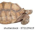 Stock photo giant sulcata tortoise closeup photo isolated on white 372129619