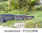 Alligator  Alligator...