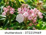 Mountain Laurel Bloom Along Th...