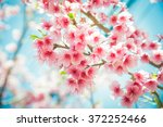 soft focus cherry blossom or... | Shutterstock . vector #372252466