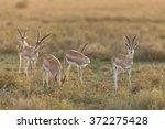 herd of grant's gazelle  ndutu  ...   Shutterstock . vector #372275428