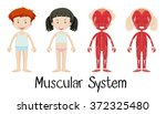 muscular system of boy and girl ... | Shutterstock .eps vector #372325480
