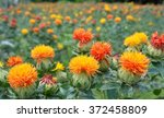 Colorful Field Of Safflower...