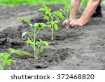 freshly planted tomato... | Shutterstock . vector #372468820